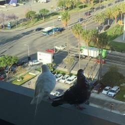 pigeon 2 looking away